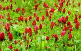 Красный клевер при климаксе: способы применения и стоимость