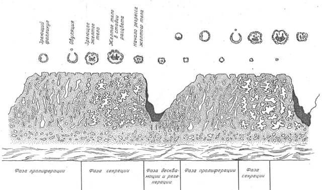 Нормы толщины эндометрия по дням цикла: показатели