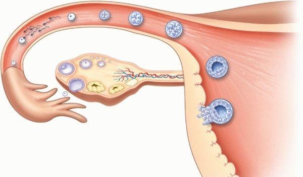 Две овуляции в одном цикле: особенности физиологического процесса