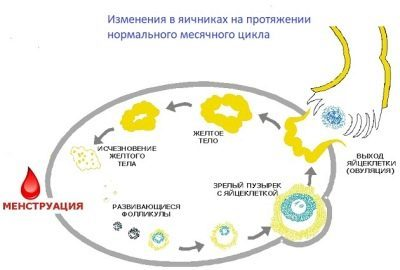 Желтое тело при беременности: особенности образования