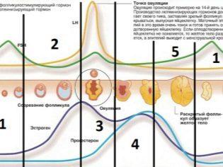Поздняя овуляция: причины, может ли наступить беременность?