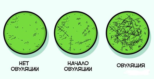 Определение овуляции по слюне: как определить, виды микроскопов