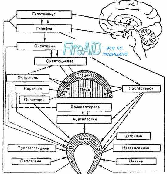 Иннервация матки: процесс регуляции с помощью нервной системы