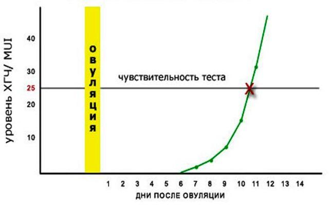 ХГЧ по дням после овуляции: нормальный уровень и отклонения