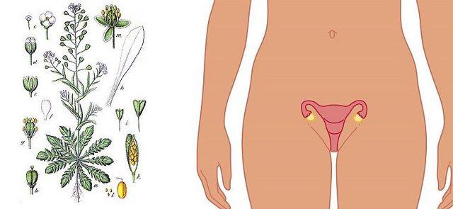 Травы для сокращения матки: положительный эффект, рецепты