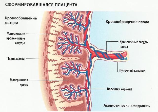 Второе УЗИ при беременности на каком сроке: оптимальные сроки проведения, подготовка и проведение процедуры, нормативные показатели