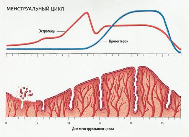 Пролиферативный эндометрий: особенности, строение