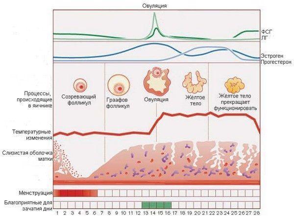 В каком яичнике происходит овуляция и зачем нужно это знать?