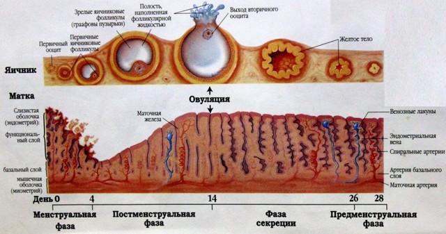 Эндометрий перед месячными: как нарастает, и в каком состоянии находится