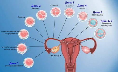 Сколько дней яйцеклетка добирается до матки: от чего это зависит?