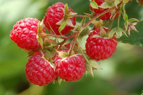 Листья малины для эндометрия: замена гормональным препаратам