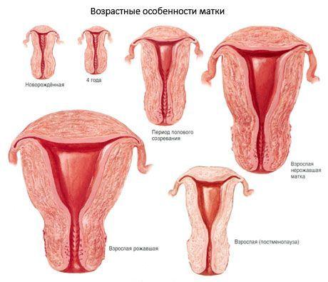Связки матки: значение и специфика их строения
