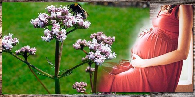 Валерьянка при тонусе матки: как принимать, противопоказания