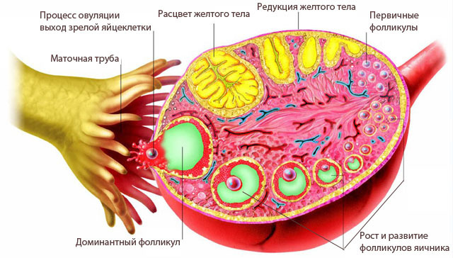 Нарушение овуляции: виды, причины, симптомы, лечение