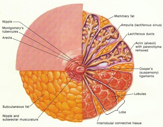 Бугорки Монтгомери при беременности: фото, что это, предназначение, причины увеличения, воспаление, лечение, уход за грудью