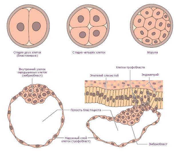 Мазня на ранних сроках беременности: причины, как выглядит, лечение