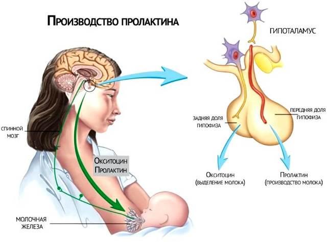Пролактин при климаксе: как меняется, норма и причины отклонений