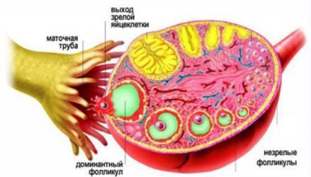 Желтое тело при внематочной беременности: состояние и возможные нарушения