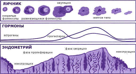 Толщина эндометрия для зачатия: норма и патология для слоя